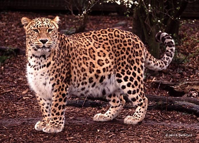 Азиатская леопардовая кошка: фото, описание внешности и характера дикого животного