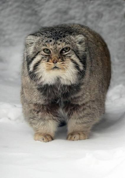 Красивые фото манула и интересные факты о диком животном