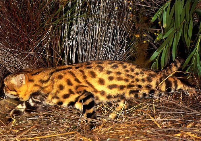 Африканская черноногая кошка - описание породы