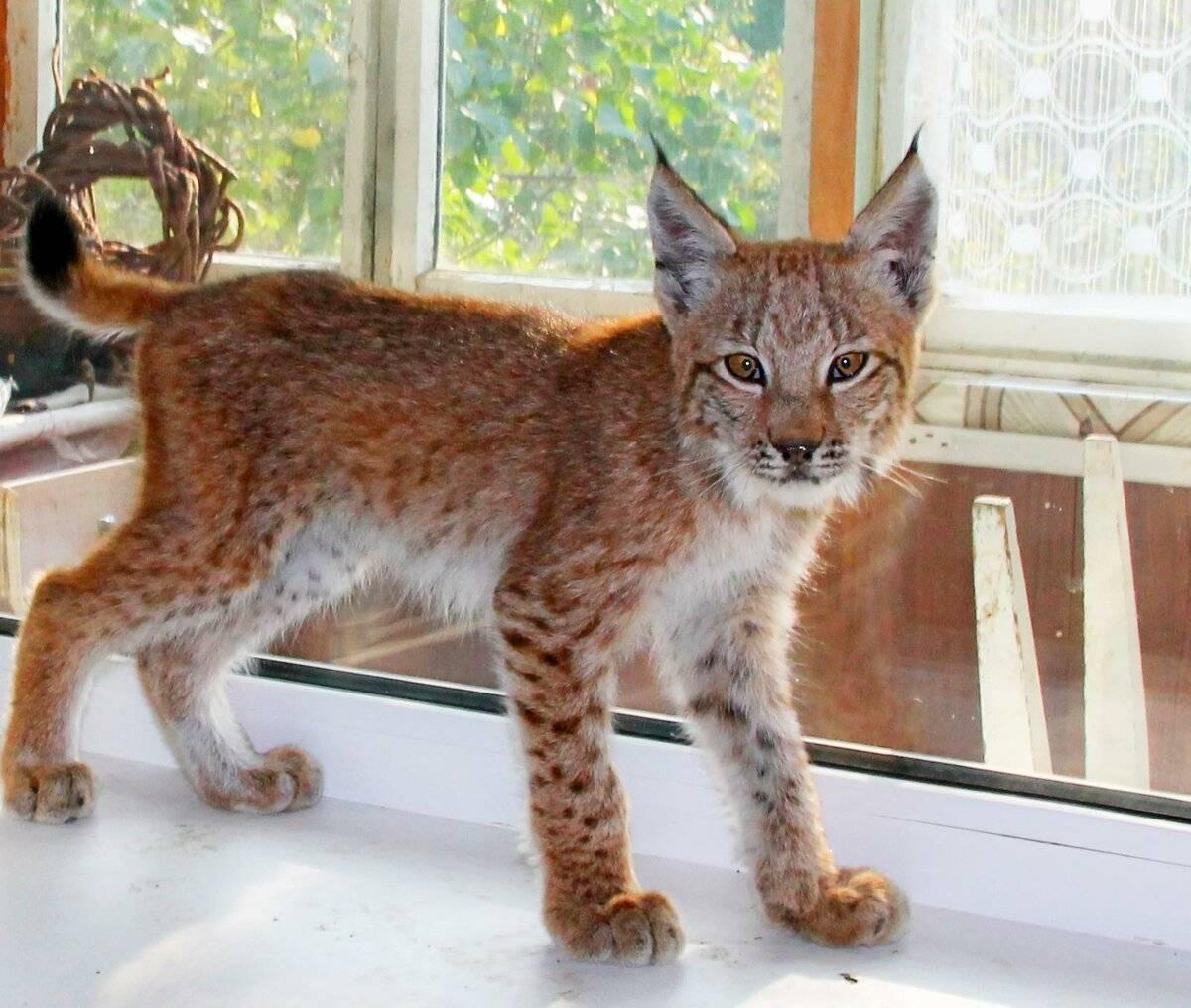 Топ-10 самых редких пород кошек в мире с фотографиями и названиями