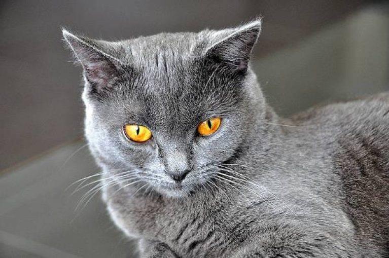 Картезианская кошка (52 фото): описание котов породы шартрез, особенности характера котят. история происхождения французских голубых кошек