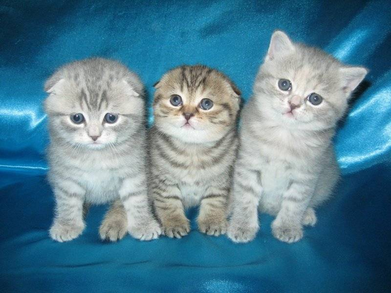 Особенности и правила грамотного ухода за шотландскими вислоухими котятами