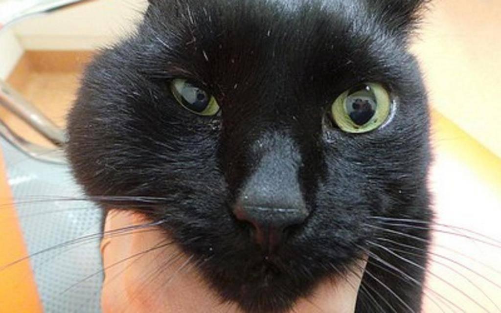 Опухла щека у кота после драки