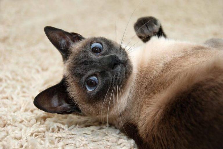 Сколько живут сиамские коты
