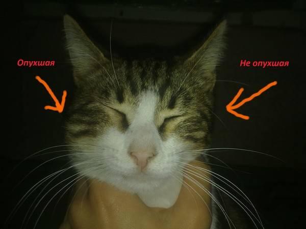 У кота шишка на носу: что это может быть?