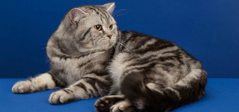 История появления британской кошки