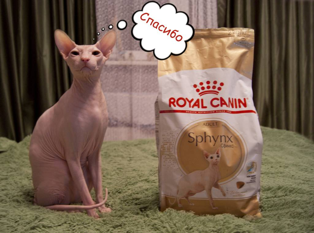 Чем кормить котят сфинкса, правила содержания, уход, советы ветеринаров