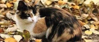 Трёхцветная кошка: что означает такой окрас, какие приметы, если в доме живёт черепаховый котёнок