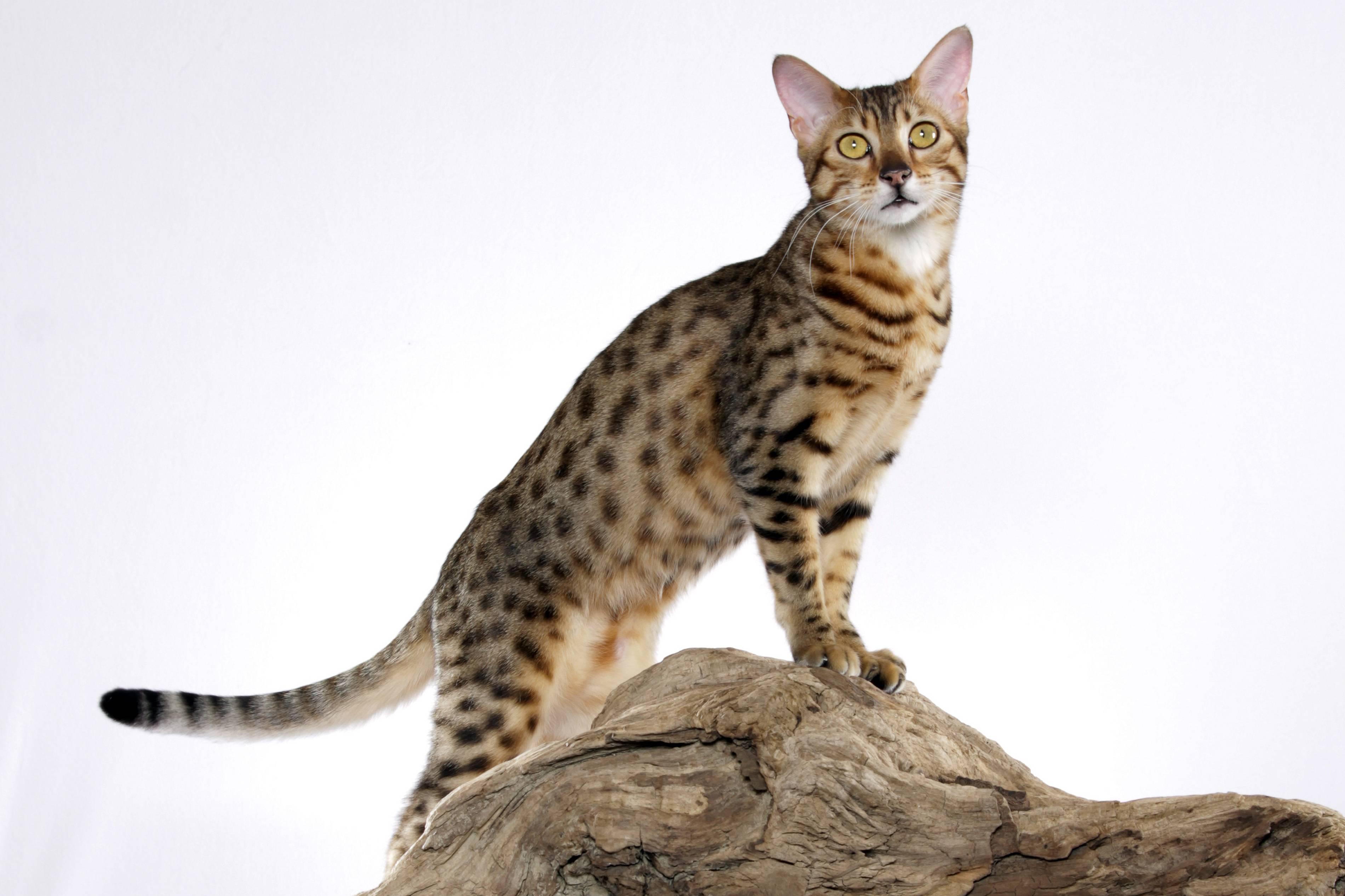Египетская мау: фото, описание породы кошек, характер, отзывы и цены