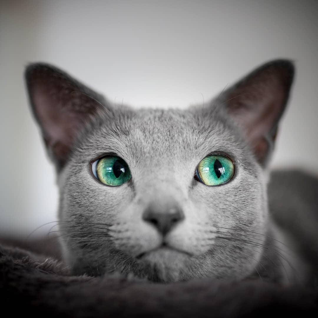 Черные кошки с зелеными глазами: породы, генетика окраса