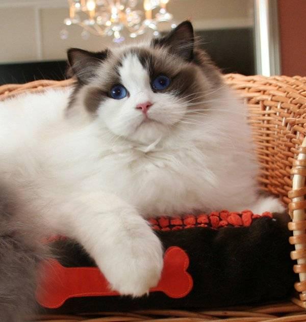 Полное описание породы кошек рэгдолл