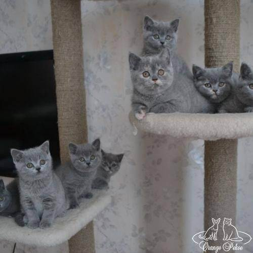 Как правильно выбрать котенка русской голубой кошки