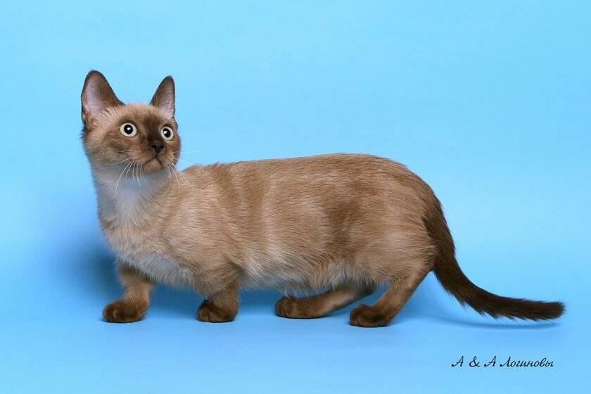 Кошки с короткими лапами | породы, фото коротколапых котов