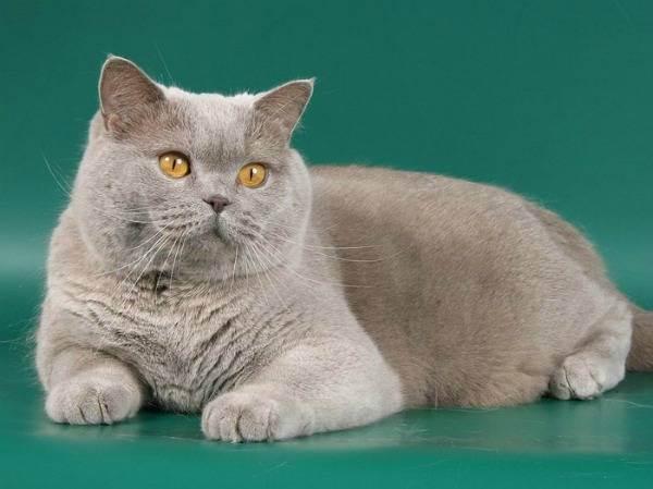 Особенности породы кошек лиловый британец