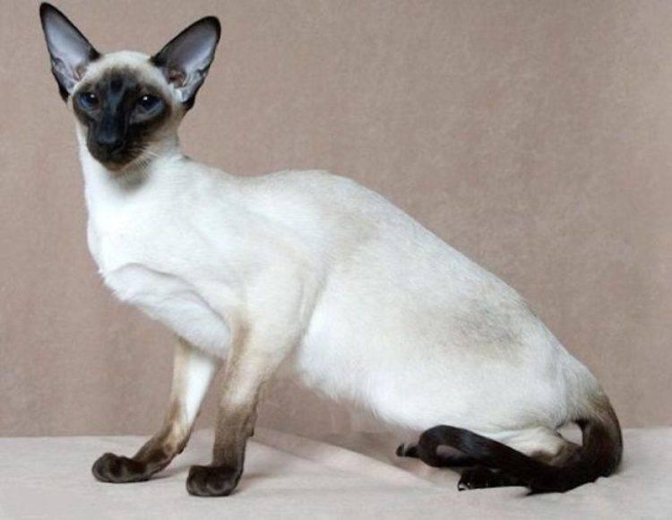 В чем состоят отличия сиамской кошки от тайской, как отличить котенка одной породы от другой?