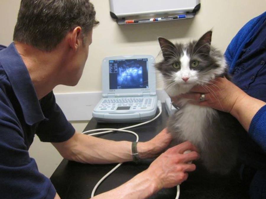 Что делать и чем лечить, когда кот писает кровью: причины заболевания, помощь