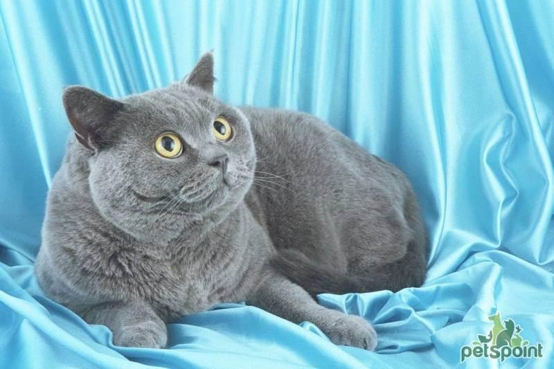 Вес британского котенка по месяцам и стандарт породы