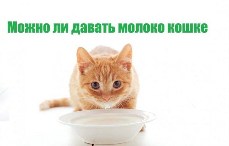 Почему котам и кошкам нельзя молоко?