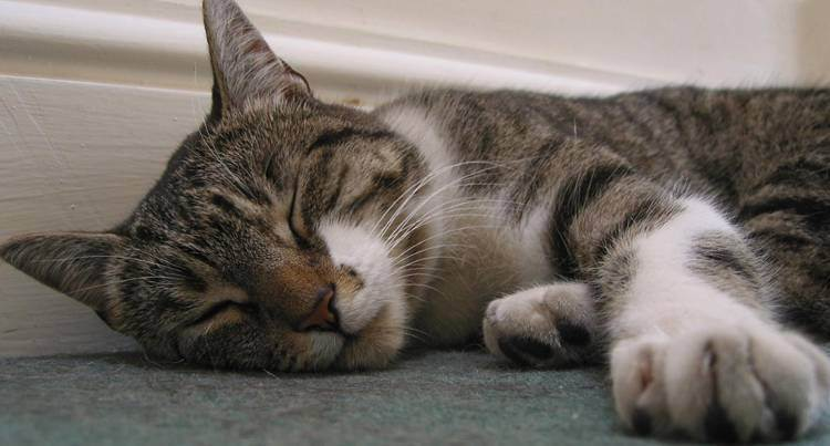 Кот храпит во сне: причины и что делать. почему кошка храпит во сне кот начал храпеть во сне