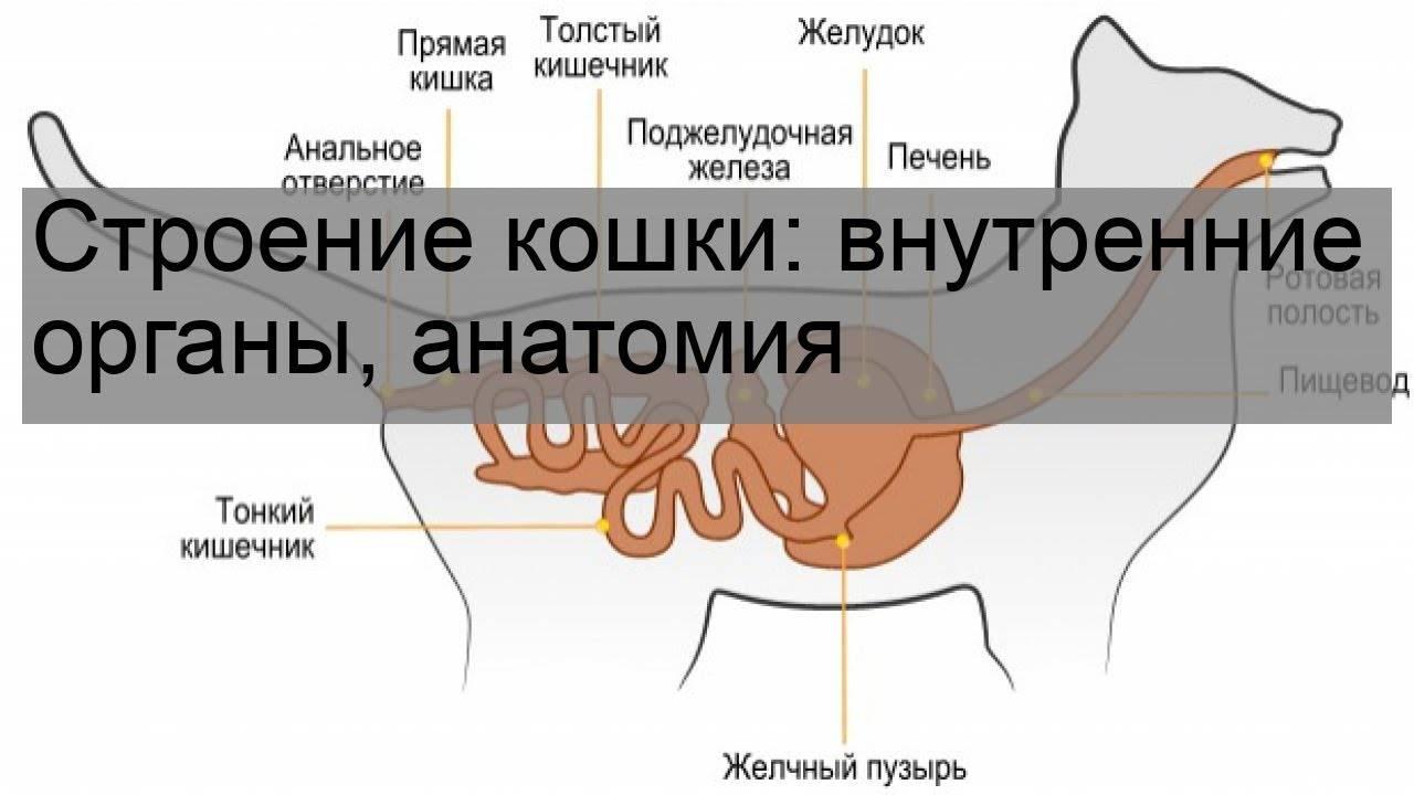 Анатомическое строение кошек