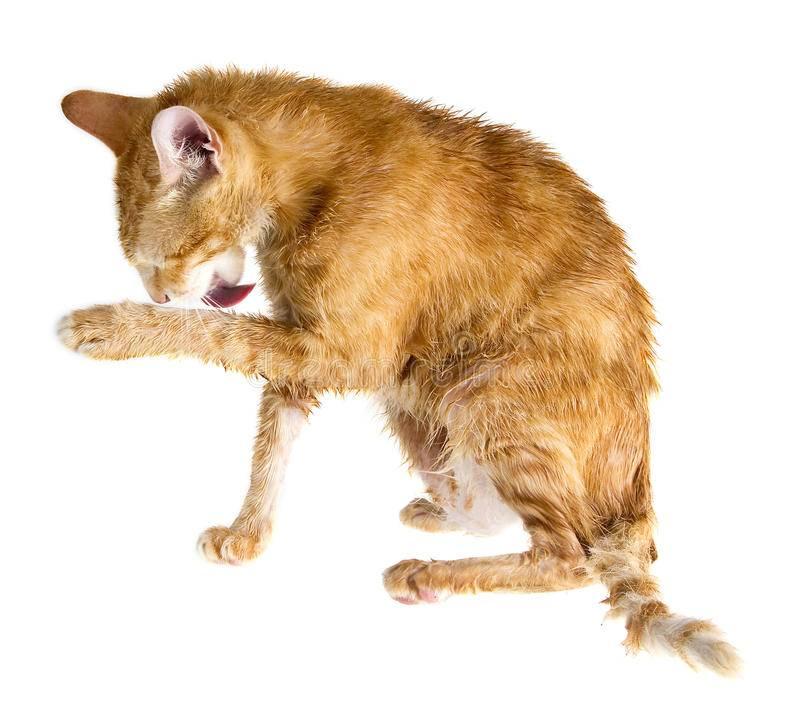 Кот лижет человека: причины, что значит кот лижет человека: причины, что значит