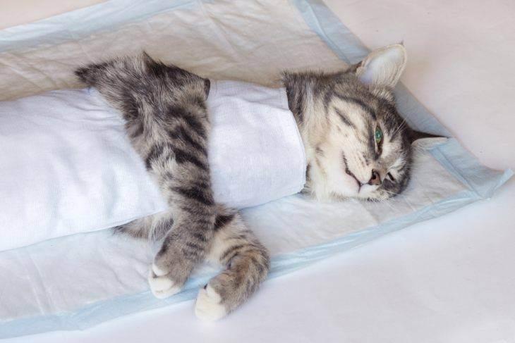 Стерилизация кошек: основные плюсы и минусы, доводы за и против