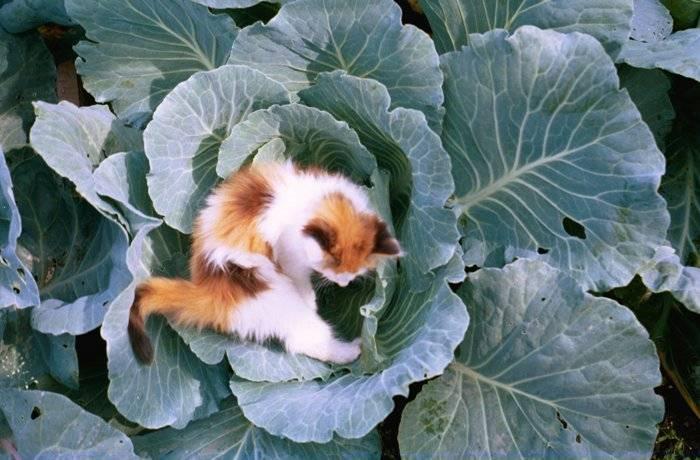 Почему кот ест капусту?