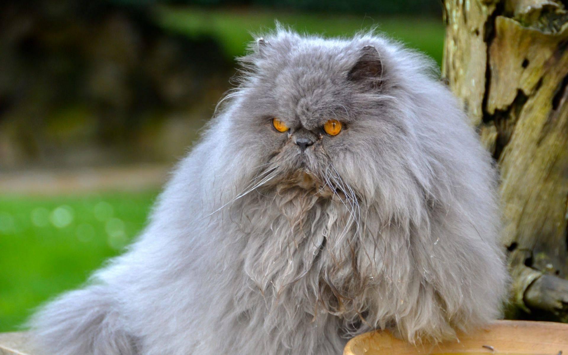 Топ 10 длинношерстных пород кошек - названия, описание и фото — природа мира