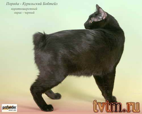 Породы кошек и котов без хвоста: как называются