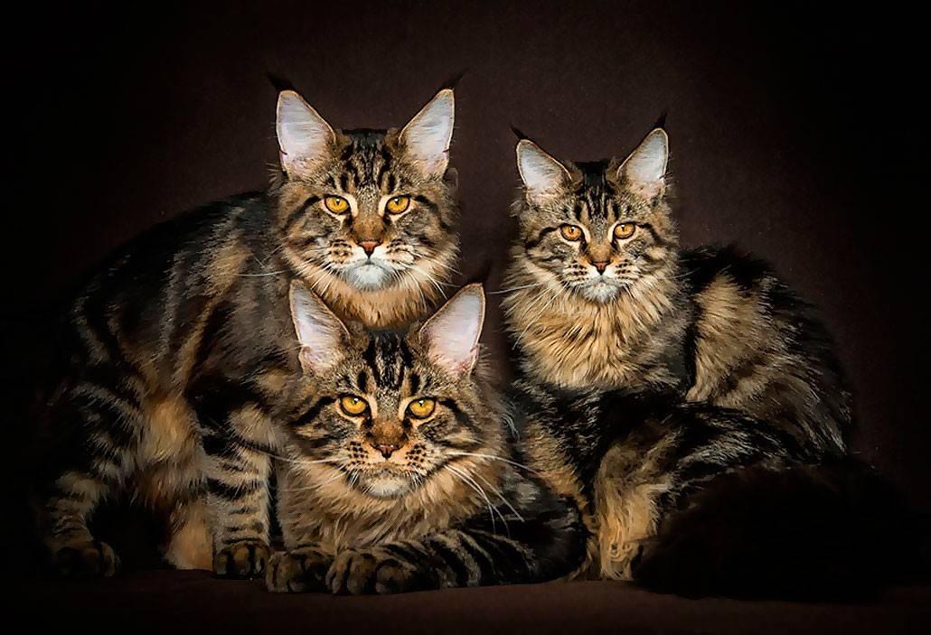 Сколько стоит котенок мейн-куна, и где его можно купить? - kisa.su