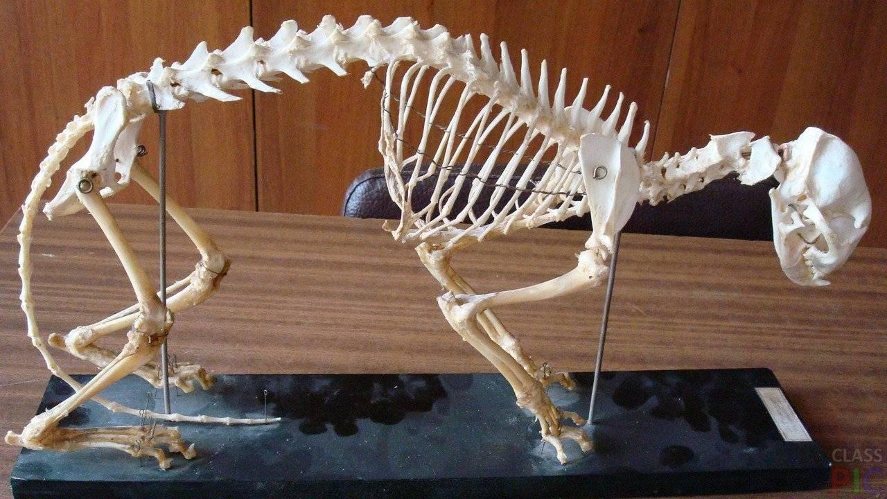 Скелет кошки — подробная анатомия