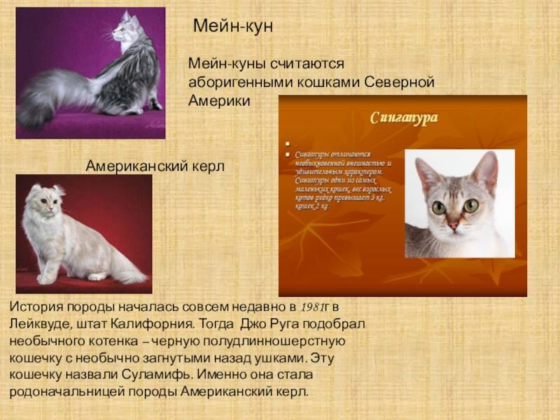 Мейн кун: характер и повадки породы кошек, отзывы владельцев | medeponim.ru
