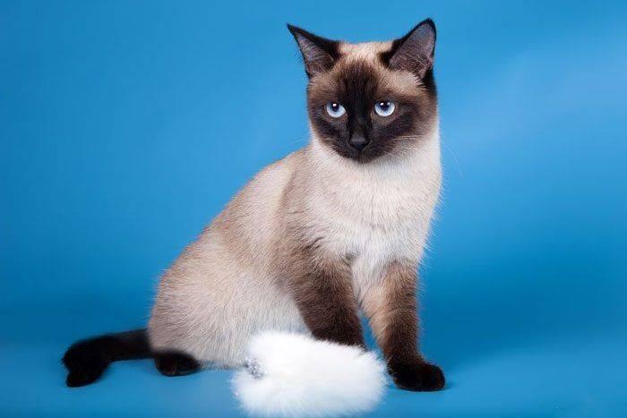 Тайская кошка - характер, уход, питание и болезни породы