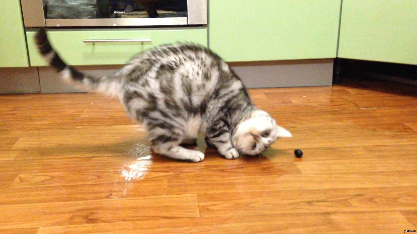 Почему кошки любят оливки и маслины, что их привлекает? почему кот любит оливки: причины, можно ли давать, польза и вред для животного можно ли давать кошкам маслины
