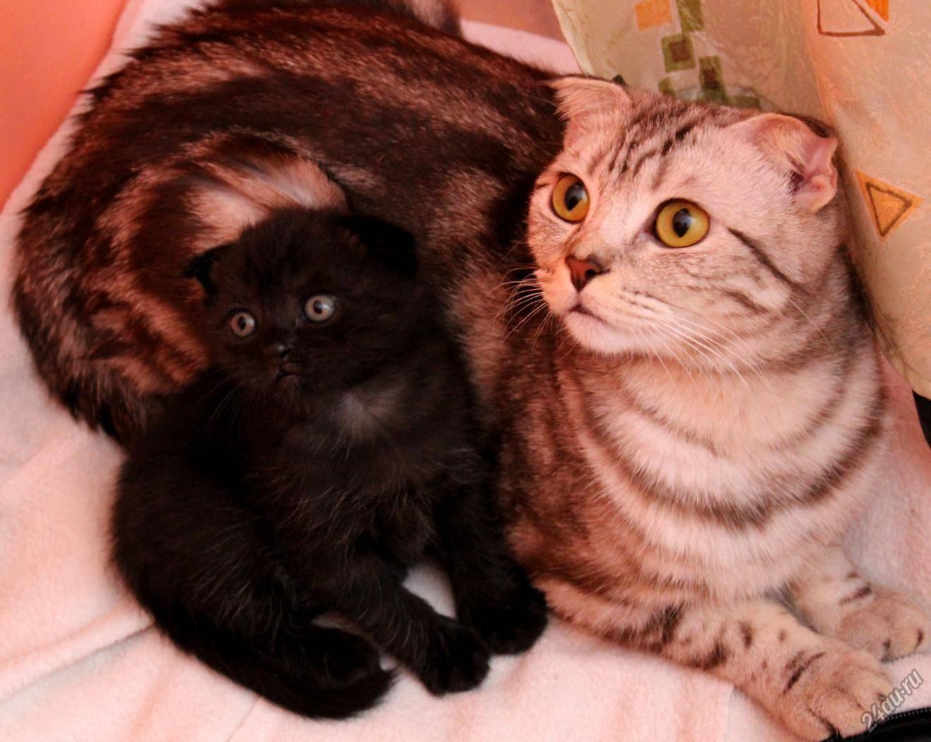 Шотландские вислоухие кошки: правила кормления в домашних условиях