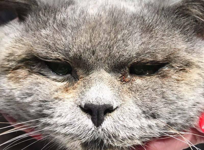 Что делать, если у кошки слезятся и гноятся глаза?