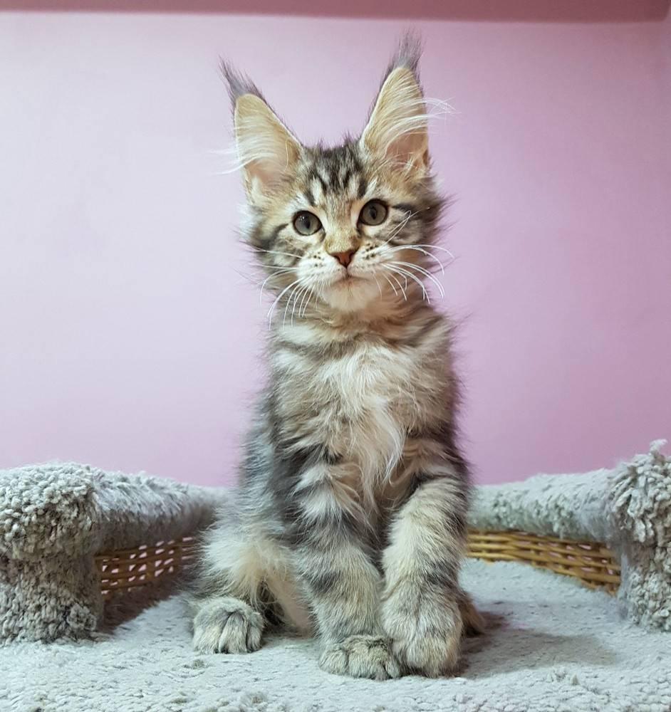 Кошки мейн кун: характеристика породы, фото, где купить