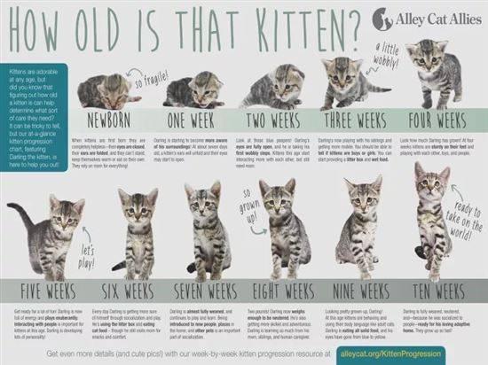 Вес котенка по месяцам: таблица, сколько должен весить вес котенка по месяцам: таблица, сколько должен весить