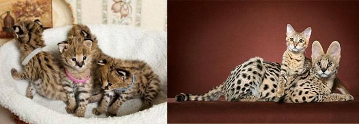 Саванна: фото кошки, цена, описание породы и характера