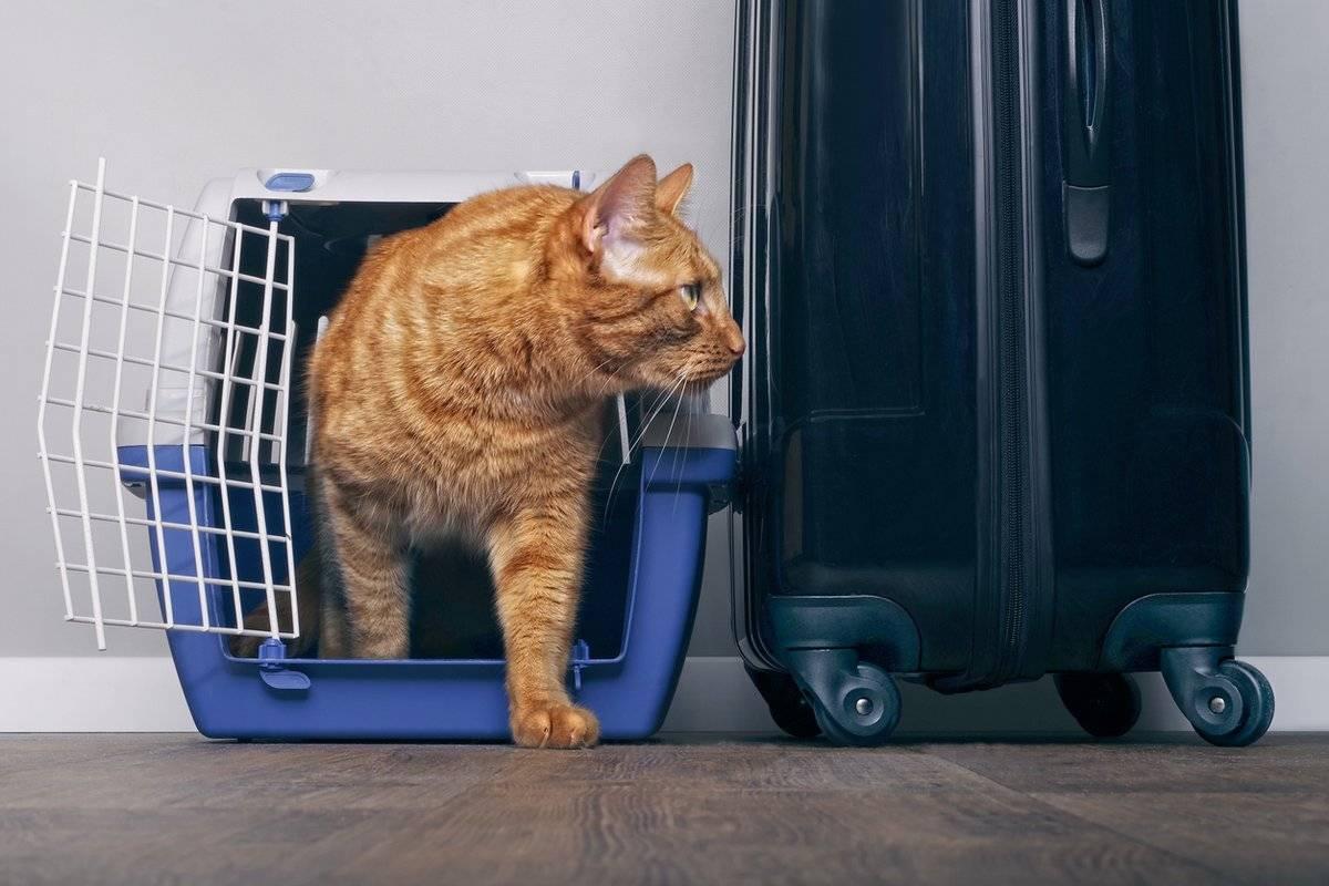 Как перевезти кота в самолете. советы эксперта