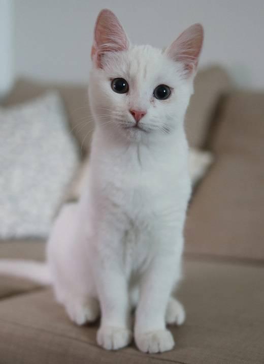 Течка у кошки: что делать?