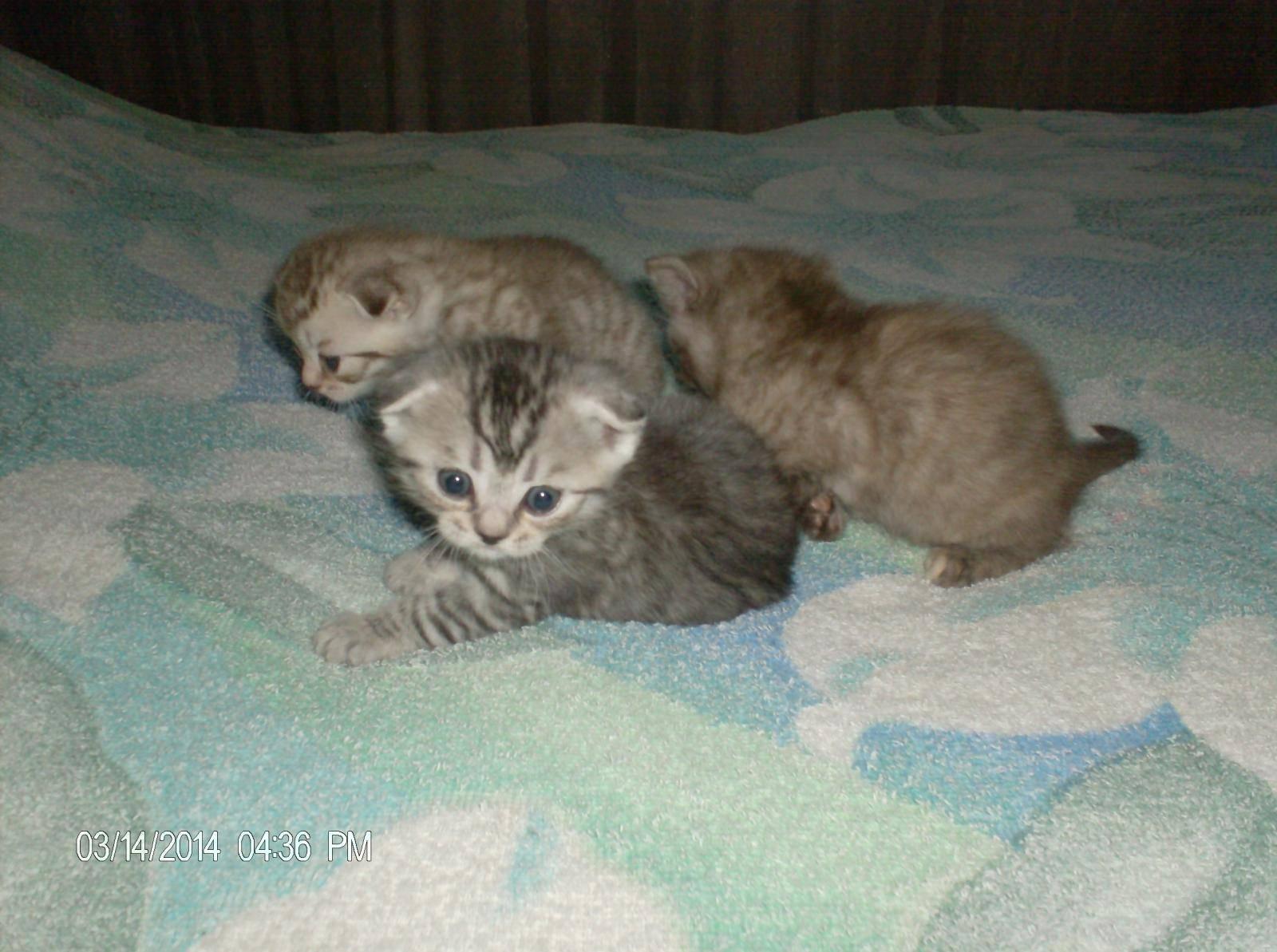 Вислоухие котята-шотландцы и короткошерстные британцы: сходства и различия двух родственных пород