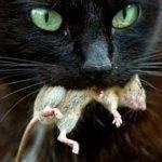 Признаки отравления крысиным ядом у кошек и что при этом делать
