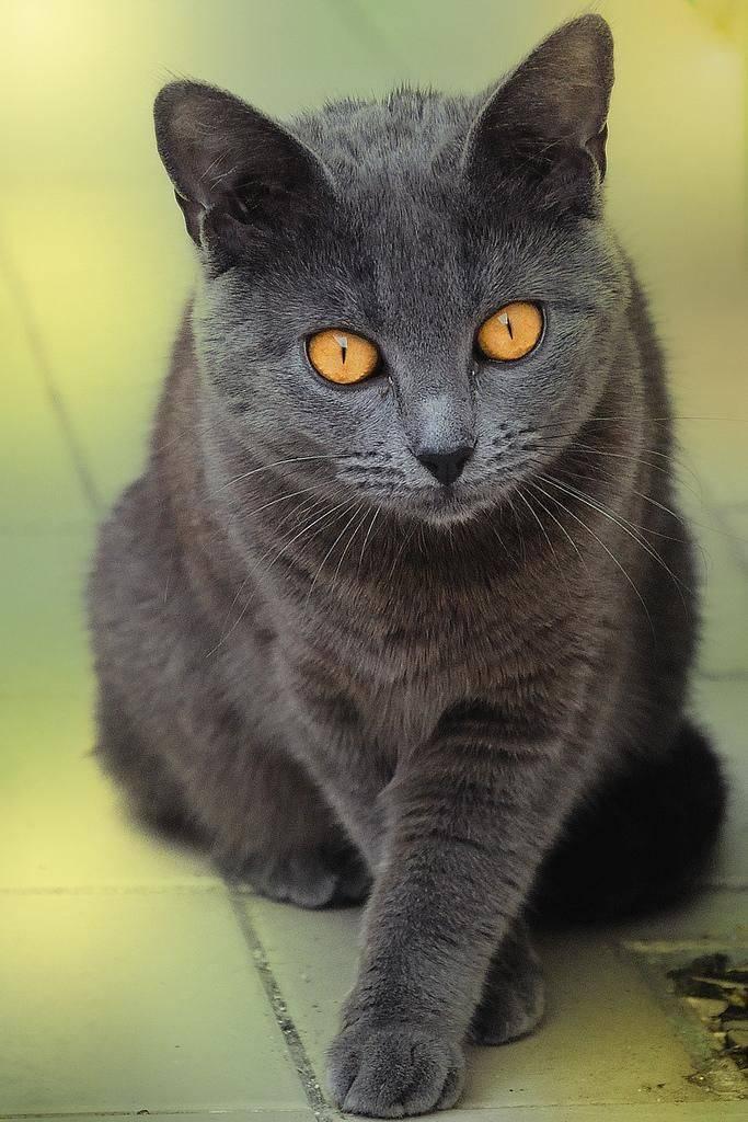 Картезианские кошки - фото и описание (характер, уход и кормление)