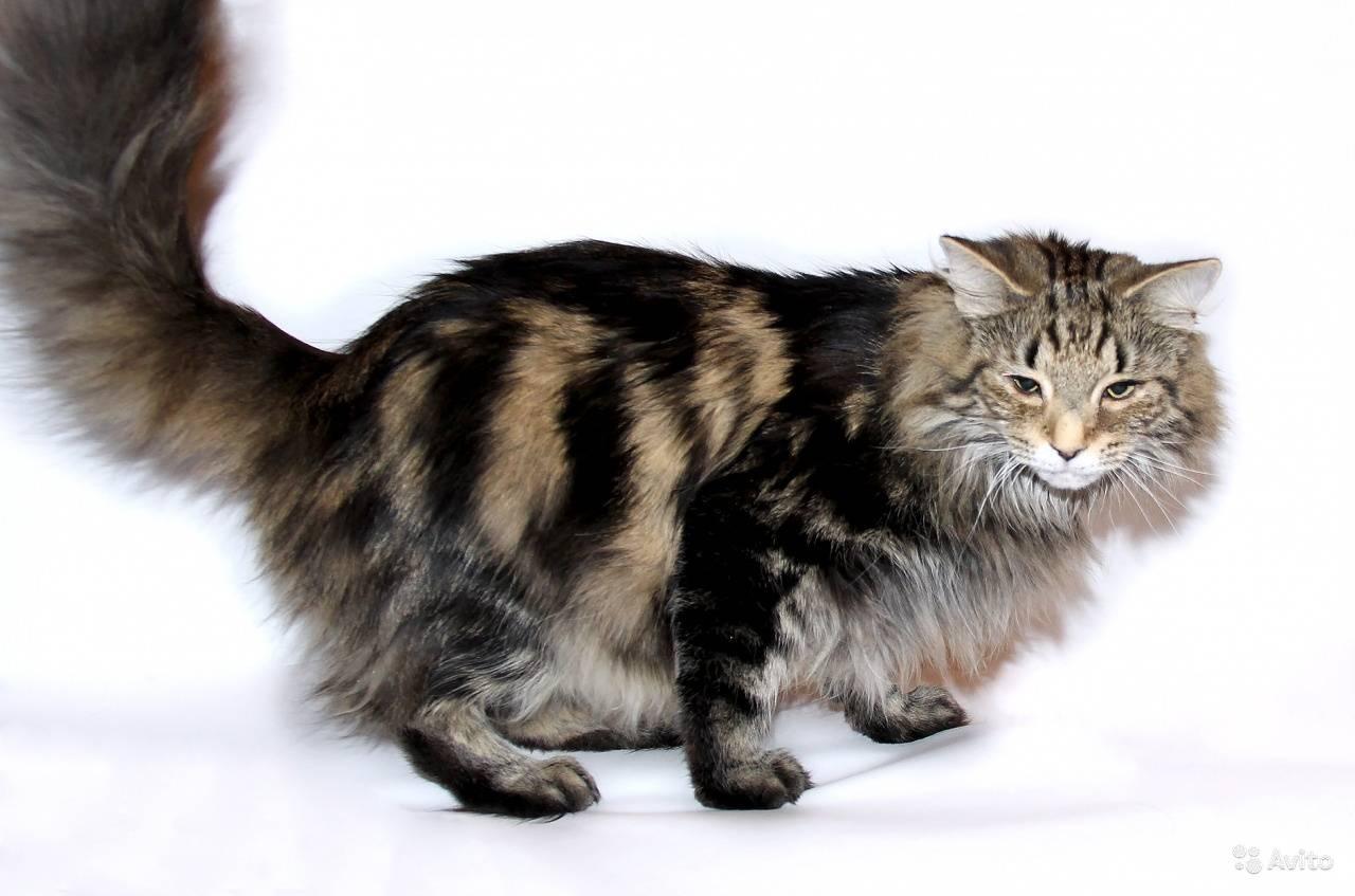 Норвежская лесная кошка — красавица с нордическим характером