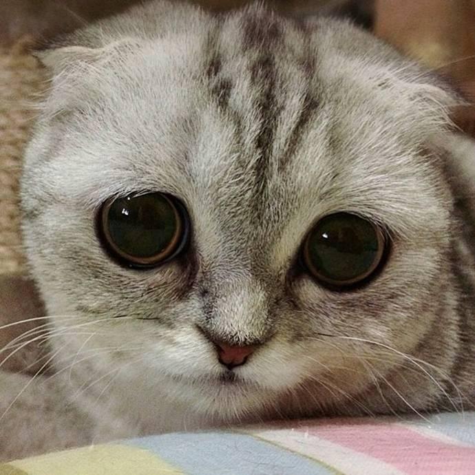 Как называются породы кошек с большими глазами и их фотографии