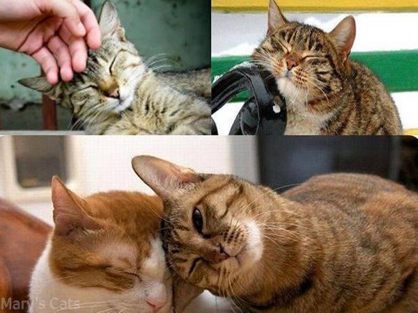 Почему кот трется об человека?