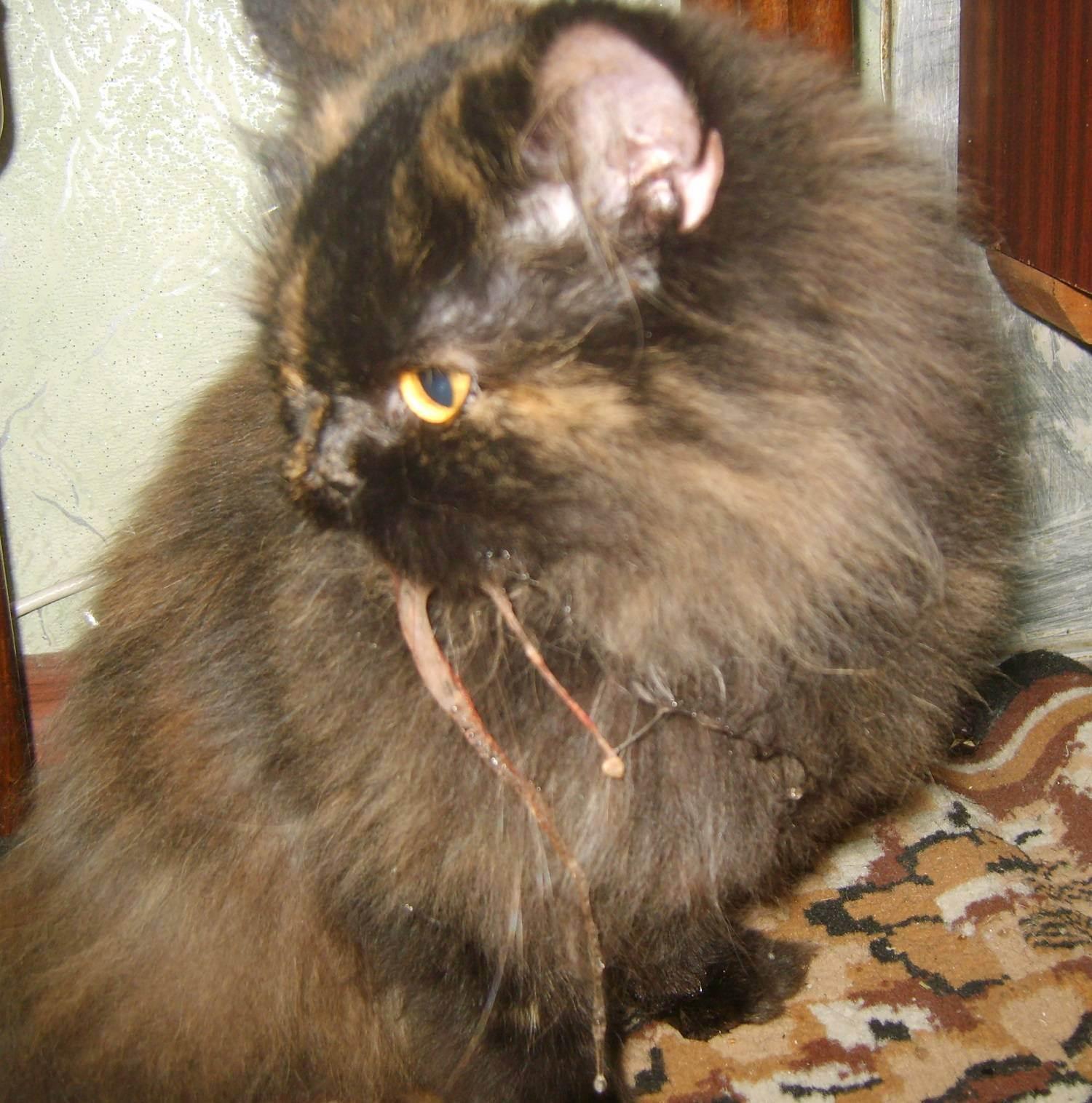 Осложнения у кошек после прививки от бешенства