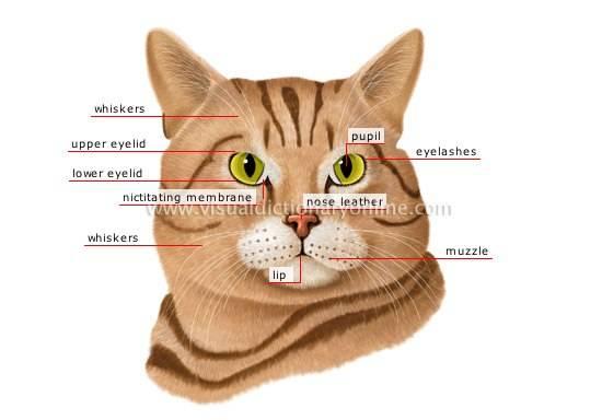 У кошки закручиваются усы