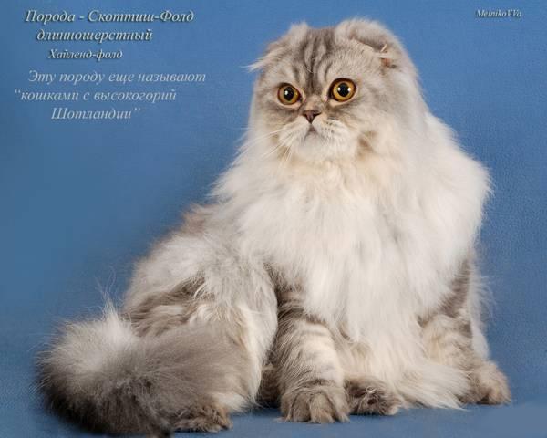 Царственная роскошь: длинношёрстные породы кошек